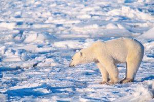 global warming polar bear